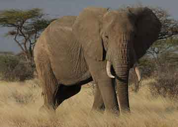 African Elephant 360