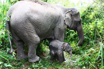 baby-asian-elephant-and-its-mother-360.jpg