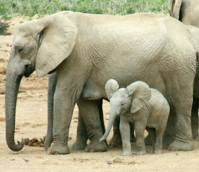 Baby and adult elephant.jpg
