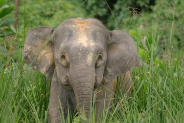 Pygmy-Elephant-in-a-field.jpg