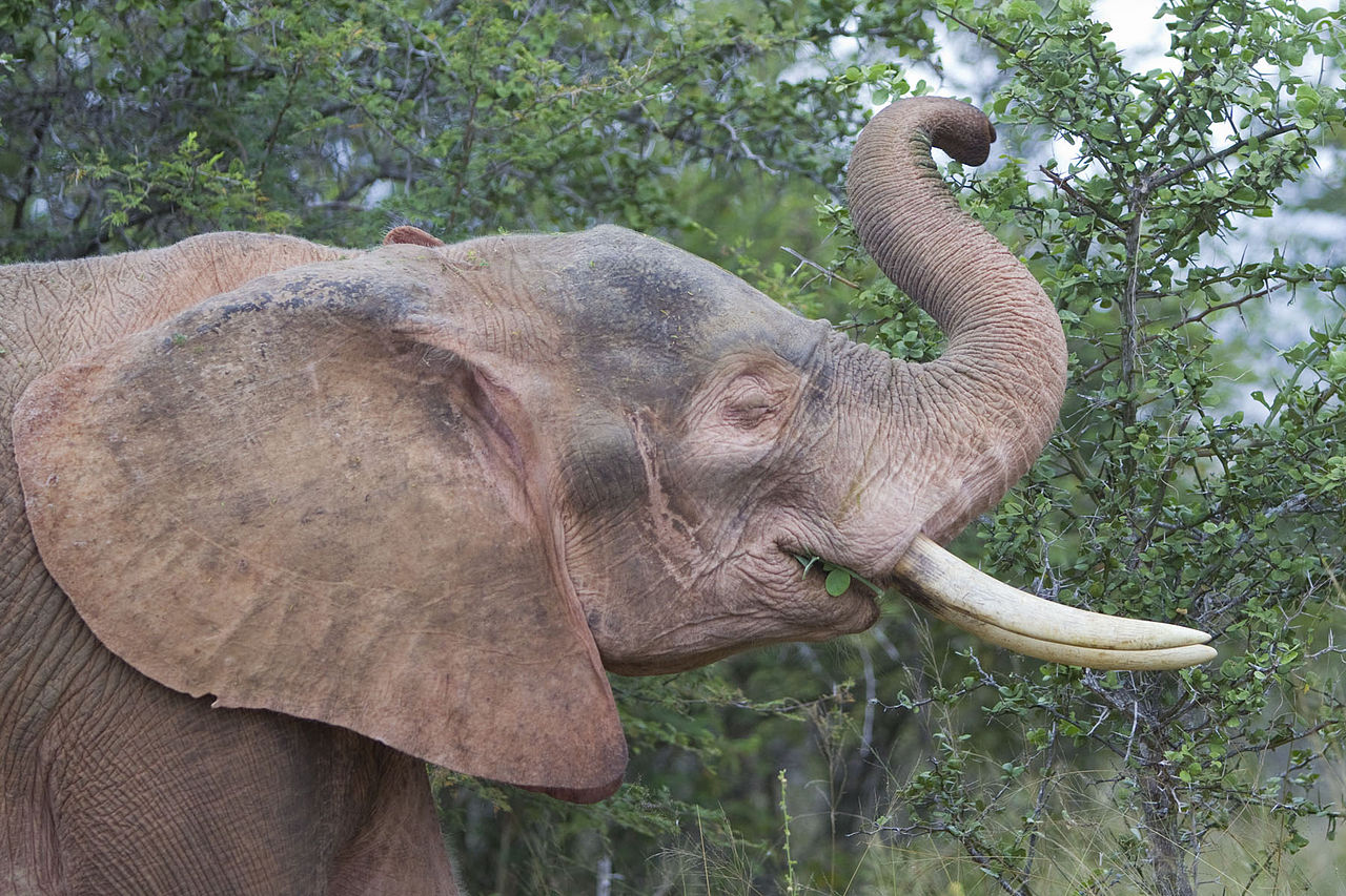 Albino elephant facts about the rare white elephant albino elephant biocorpaavc Gallery