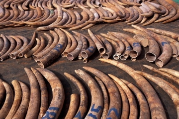 Elephant Tusks From Poaching