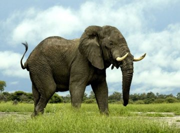 elephant-standing-still.jpg